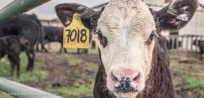 Kuh hinter Gittern