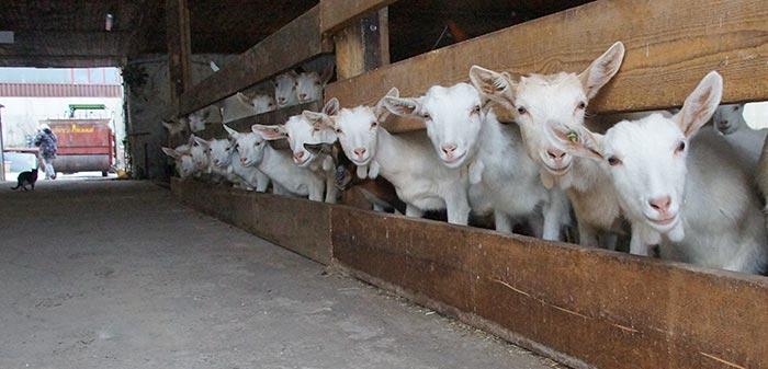 Ziegen schauen in die Kamera und warten auf Futter