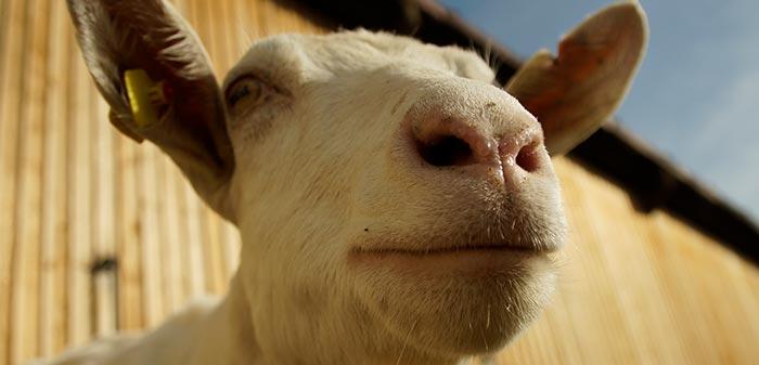 Weiße Ziege blickt in die Kamera aus Froschperspektive