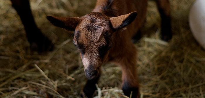 Neu geborenes Kitz steht unsicher auf allen Vieren