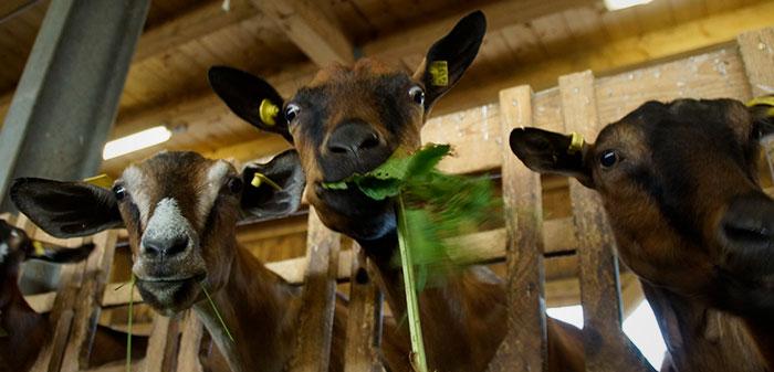 Ziege blickt in die Kamera mit grünem Gras im Maul.