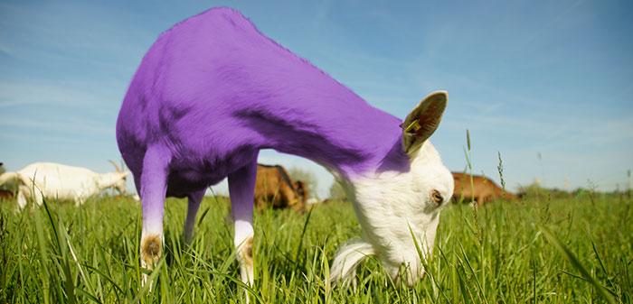 Lila Ziege steht auf der Weide um zu grasen