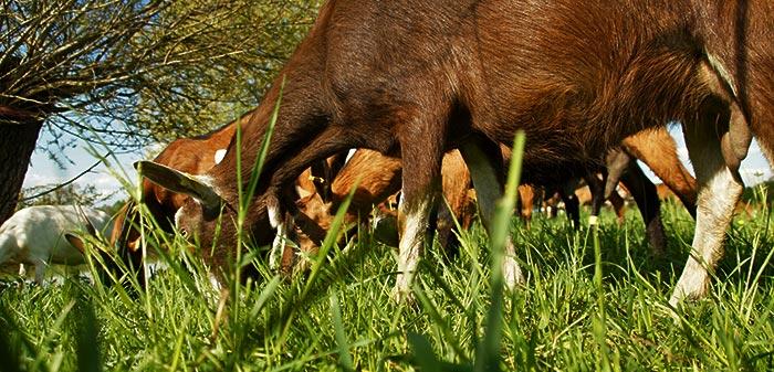 Ziege frisst mit gesenktem Kopf frisches grünes Gras auf der Weide.
