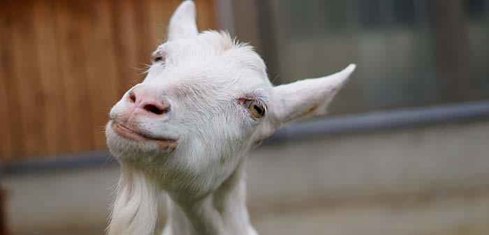 Cremfarbene Ziege lächelt in die Kamera. Im Hintergrund ist der Stall zu sehen.