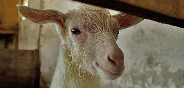 Frischgeborenes Kitz ist noch feuch nach der Geburt, aber neugierig.