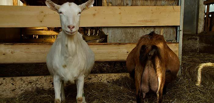 Weiße Ziege blickt in die Kamera und steht neben einer BDE-Ziege, die schwanger ist.