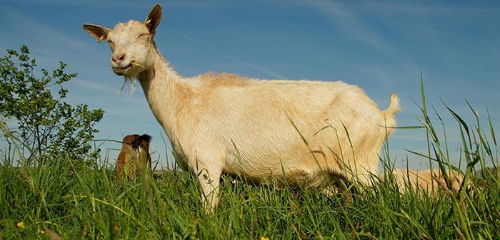 Ziege hebt glücklich ihren Schwanz in die Höhe und lächelt.