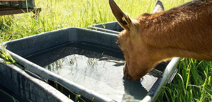 Ziegen steht am Wasserbecken und trinkt.