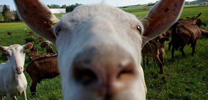 Cremefarbene Ziege blickt in die Kamera.