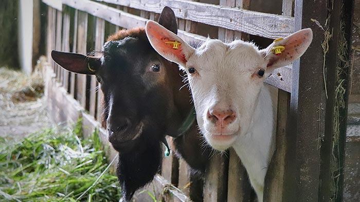 Bock und Ziege