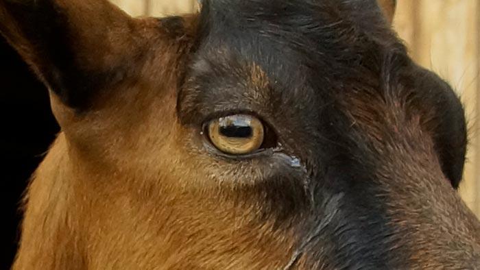 Ein Ziegenauge in Nahaufnahme.