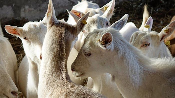 Ziegen sträuben ihren Kamm.