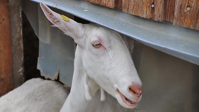 Weiße Ziege im Stall