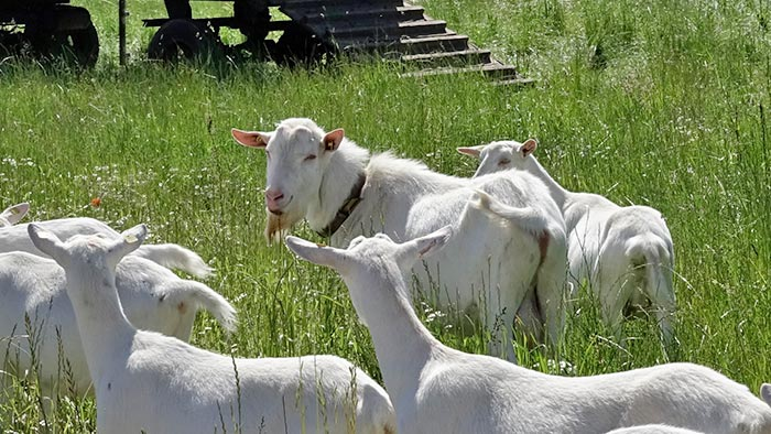 Bock und Ziegen auf der Weide.